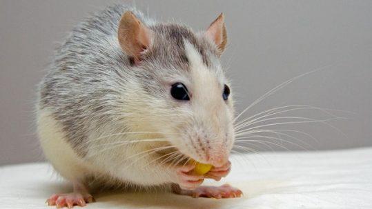 dumb rats